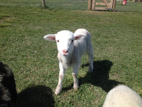 羊の国のラブラドール絵日記シニア!!「子羊こまち」写真1