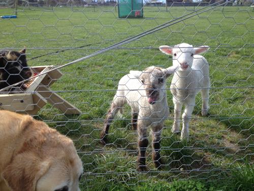 羊の国のラブラドール絵日記シニア!!「良い仕事してます」3