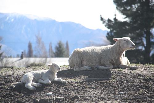 羊の国のラブラドール絵日記シニア!!「子羊の季節」3