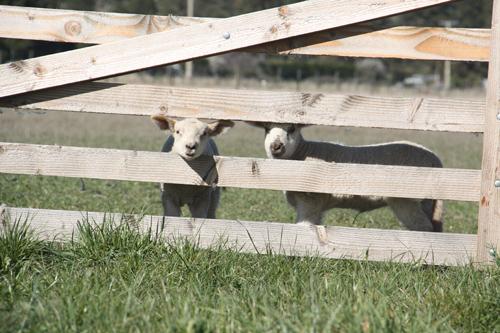 羊の国のラブラドール絵日記シニア!!「子羊の季節」4