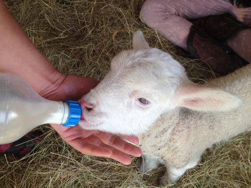 羊の国のラブラドール絵日記シニア!!「子羊は突然に!」3