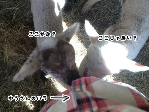 羊の国のラブラドール絵日記シニア!!「One in a million」3