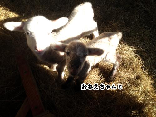 羊の国のラブラドール絵日記シニア!!「One in a million」4