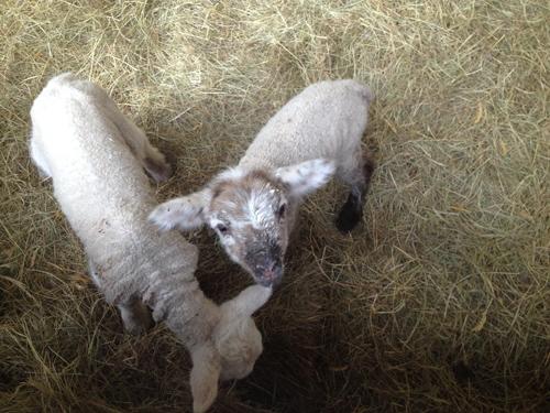 羊の国のラブラドール絵日記シニア!!「生きるぞスイッチ」1