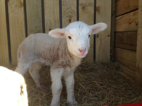 羊の国のラブラドール絵日記シニア!!「生きるぞスイッチ」2