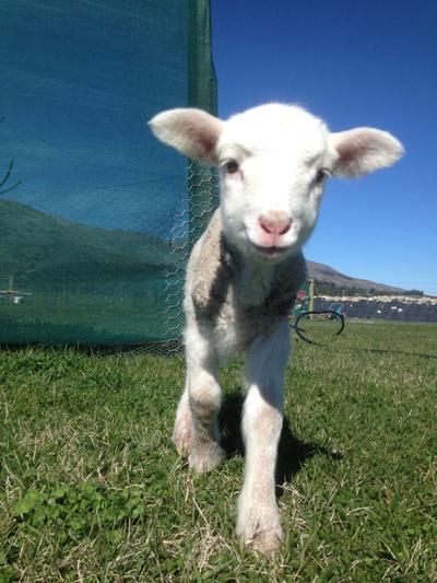 羊の国のラブラドール絵日記シニア!!「子羊チャーリー」1