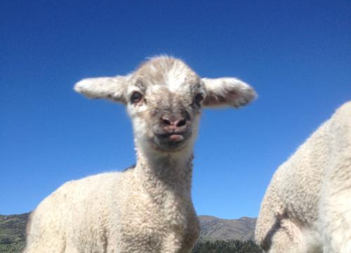 羊の国のラブラドール絵日記シニア!!「子羊チャーリー」4