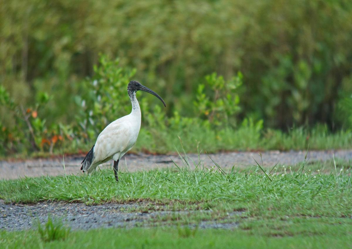 カイマナ 野鳥の写真 オーストラ...