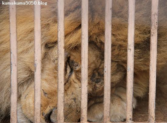 ライオン_856