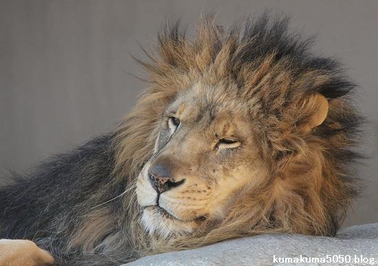 ライオン_866
