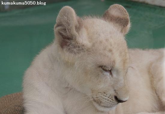 ホワイトライオンの赤ちゃん_40