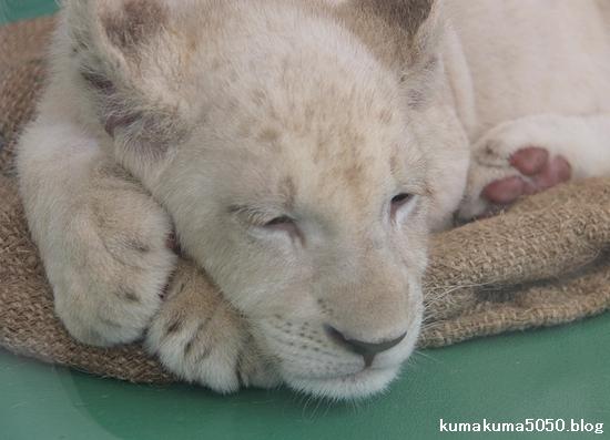 ホワイトライオンの赤ちゃん_41