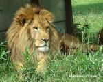 ライオン_895