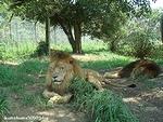 ライオン_898