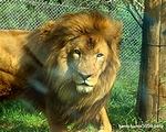 ライオン_902
