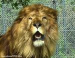 ライオン_904