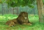 ライオン_907