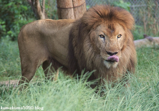 ライオン_915