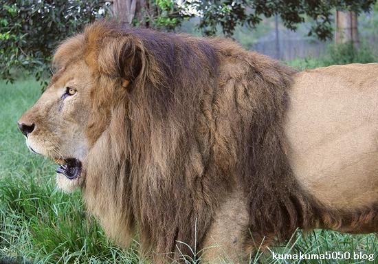 ライオン_924