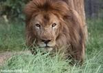ライオン_927
