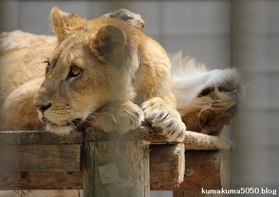 ライオン_963