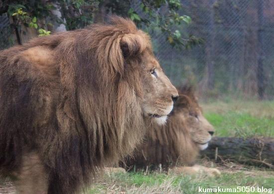 ライオン_1001
