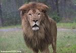 ライオン_1017