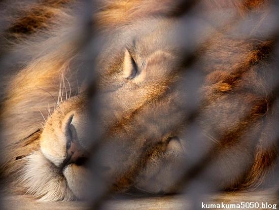 ライオン_1021