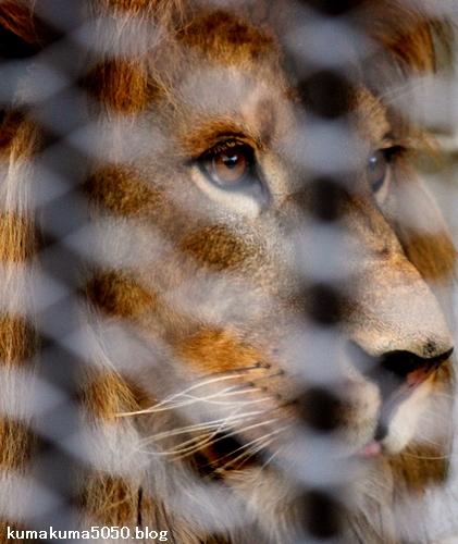 ライオン_1022