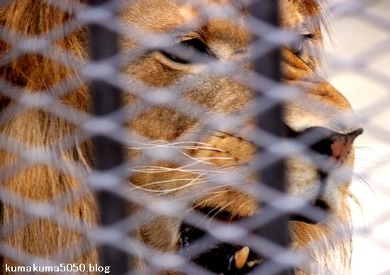 ライオン_1025
