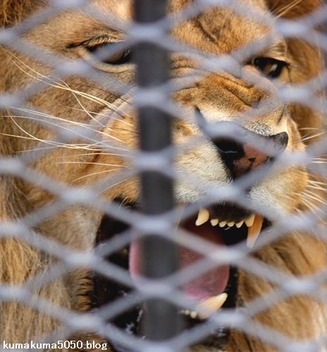 ライオン_1026
