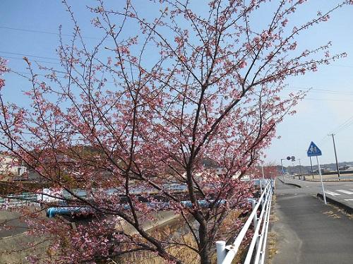 sakasan-sakura-20140226-3.jpg
