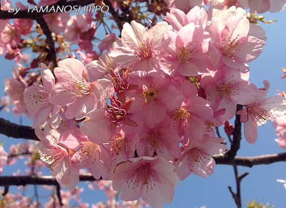 早咲きの桜2
