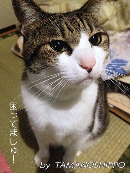 抗議中の猫(怒り困っている猫)