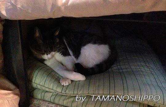 コタツの中で寝る猫