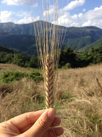 ファッロ小麦の穂