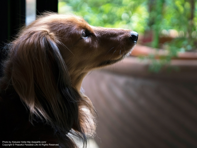見上げる犬