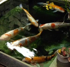 朝日ブログ鯉