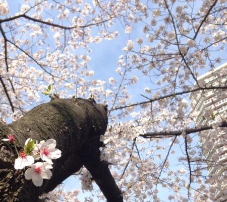 2014桜4