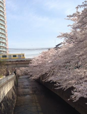 2014桜5