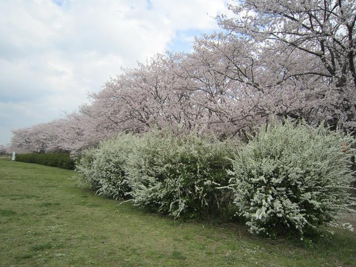 宮川堤の桜1