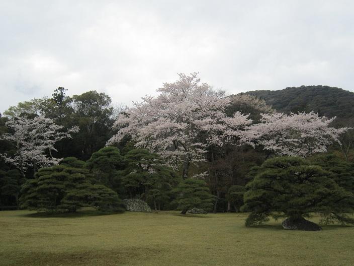 内宮神苑桜