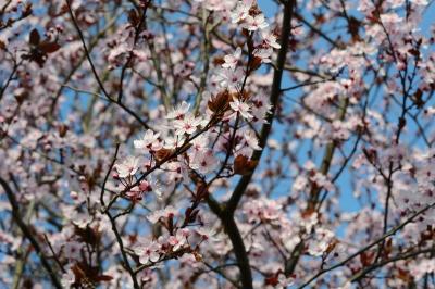 20140831_cherry_plum.jpg
