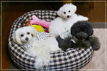 ゆう坊ベッドLサイズ・白黒3姉妹は3ワンでヨユー