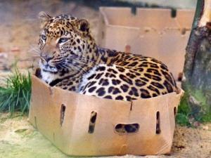箱に入った豹