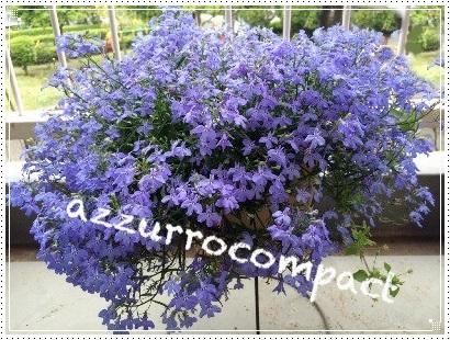 ベランダのお花3種