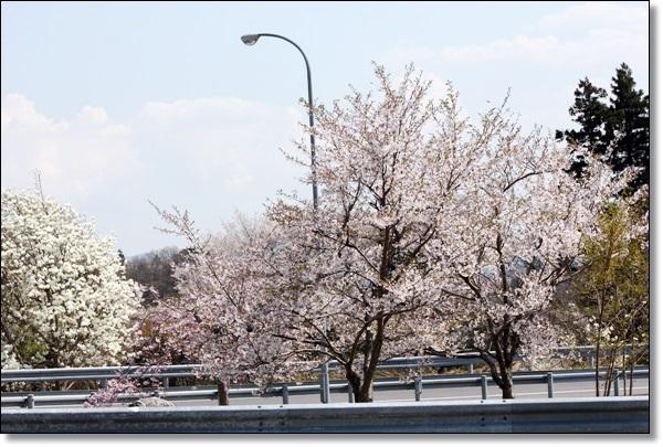 花ざかりの福島へ 5